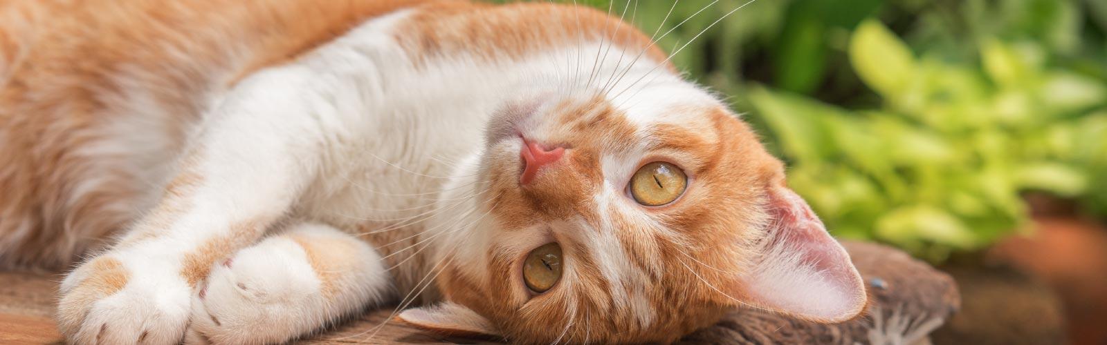 Cómo adiestrar a un gato